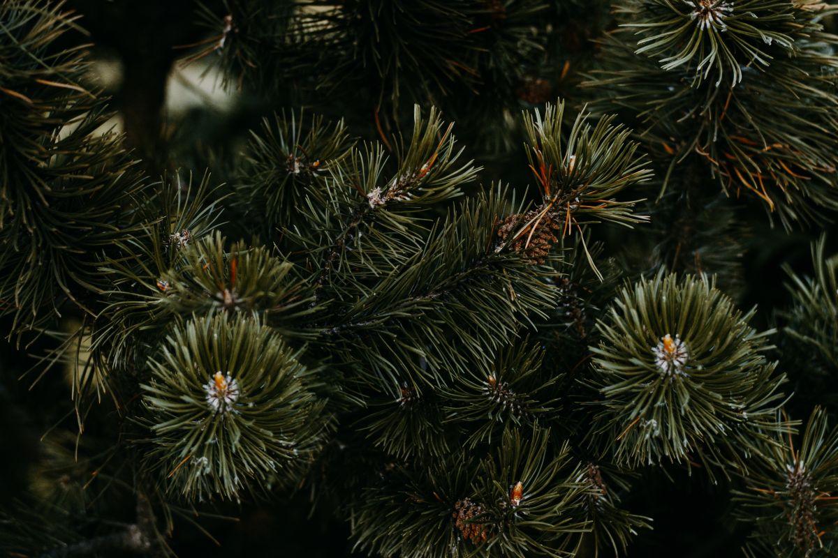 Weihnachtsbaum Kaufen Kiel.Die Besten Adressen Für Bio Weihnachtsbäume